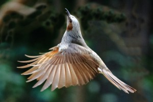 ヒヨドリの羽